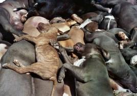 Piles of Pitbull type dogs confiscated and euthanised from BSL